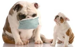 Кашель у собаки, как будто подавилась: причины и лечение
