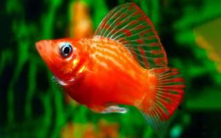 Моллинезия красная/оранжевая: содержание, фото-видео обзор