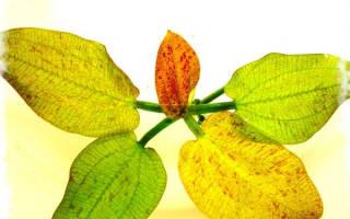 Эхинодорус крапчатый: содержание, размножение, фото-видео обзор