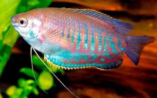 Колиза лябиоза содержание в аквариуме: фото-видео обзор
