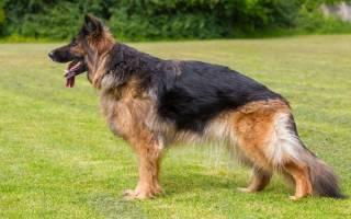 Дисплазия тазобедренных суставов у собак: лечение