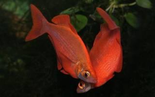 Глоссолепис красный — радужница атерина: содержание, фото-видео обзор