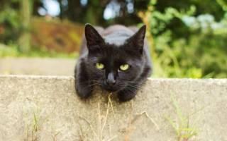 Черная кошка: обзор популярных пород, приметы, факты, 26 фото