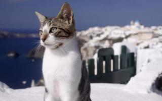 Эгейская кошка (трехцветная): 20+ фото, особенности породы