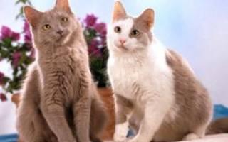 Йоркская шоколадная кошка: 25+ фото, описание породы, цена