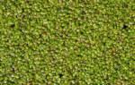 Ряска горбатая: содержание, фото-видео обзор
