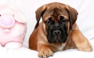 Описание породы собак Бульмастиф с отзывами опытных хозяев и фото