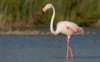 Детеныш фламинго учится быть взрослыми: милое фото