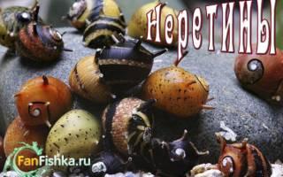Улитка неретина: содержание, виды, размножение, фото-видео обзор