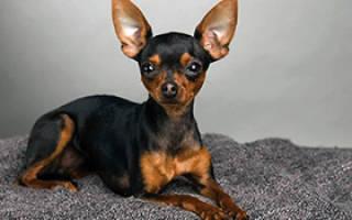 Описание породы собак Пражский крысарик с отзывами и фото