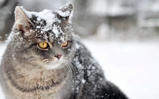 Перхоть у кошки и кота: причины, диагностика, способы лечения
