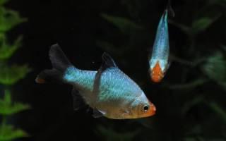 Барбус платиновый содержание в аквариуме