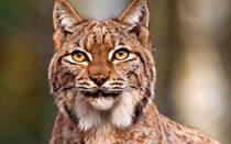 Канадская рысь: 50+ фото, можно ли купить котят, цена, описание