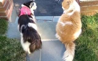 Котик пытается добиться кошечки уже 2 года