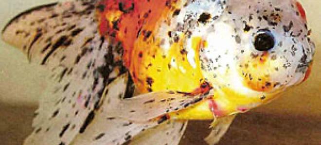 Лернеоз рыб: лечение в аквариуме, фото-видео обзор