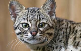 Кошка Жоффруа: 25 фото, описание, содержание дома, цена котенка