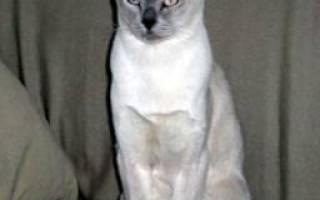 Тонкинская кошка или тонкинез: 25 фото, описание породы, цена, уход