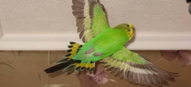 Почему попугай не летает — причины и лечение