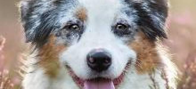 Описание породы собак Австралийская овчарка (Аусси) с отзывами владельцев и фото