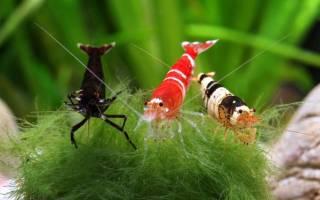Аквариумные креветки: уход и содержание