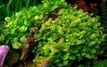 Кардамин — сердечник лировидный японский: содержание, фото-видео обзор