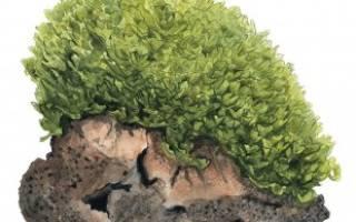Моносолениум тенерум или мох пеллия: содержание, фото-видео обзор