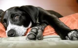 Пиометра у собак: симптомы и лечение