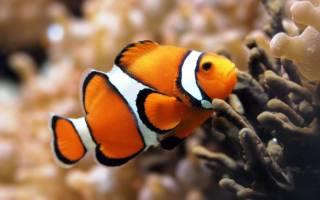 Амфиприон Немо — рыбка клоун!
