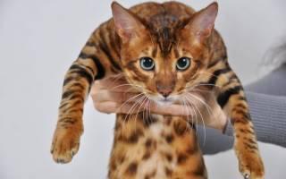 Тойгер: описание породы кошек, их характера, истории, 30+ фото