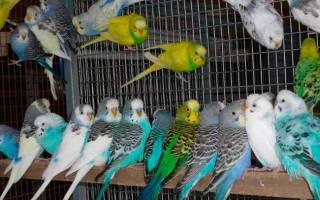 Волнистый попугай — уход и содержание в домашних условиях