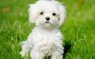 Мальтезе: описание породы собаки