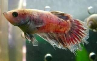 Лечение плавниковой гнили у рыбок: фото-видео обзор