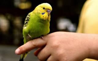 Как правильно играть с волнистым попугаем