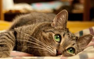 Сколько лет живут кошки: таблицы по породам и человеческим годам