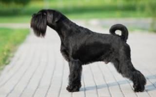 Описание породы собак Миттельшнауцер с отзывами владельцев и фото