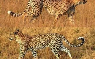 Отличия Гепарда и Леопарда: сравнительная таблица, фото