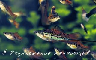 Размножение и разведение меченосцев нерест в домашних аквариумах: фото-видео обзор