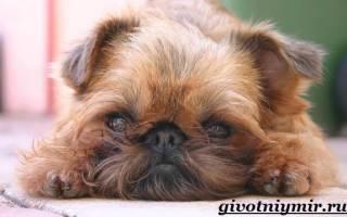 Описание породы собак Грифон с отзывами владельцев и фото