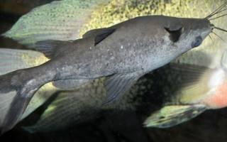 Черный багрус содержание в аквариуме, фото-видео обзор