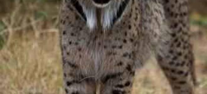 Пиренейская рысь: 45+ фото, описание, содержание в неволе, рацион