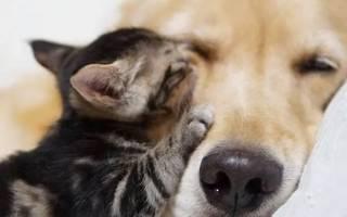 Неразлучные друзья: котенок и золотистый ретривер