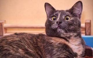 Косоглазые коты: породы, почему так бывает, знаменитые, 35 фото