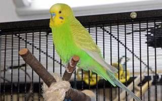 Как загнать попугая в клетку — если он не приучен к руками?