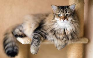 Сибирская кошка: 50+ фото, описание породы, окрасы, уход, цена