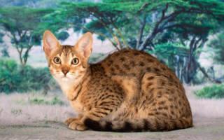 ТОП 10 самых злых пород кошек: можно ли перевоспитать?