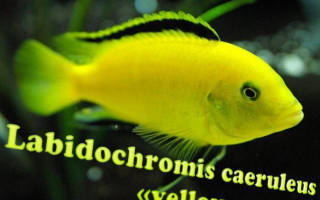 Лабидохромис Еллоу — желтая рыбка цихлида: содержание, совместимость, фото-видео обзор