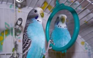 Нужно ли зеркало волнистому попугаю в клетку?