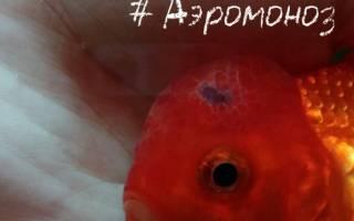 Аэромоноз краснуха рыб: лечение в аквариуме, фото-видео обзор