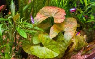 Нимфея карликовая сантарем: содержание, фото-видео обзор