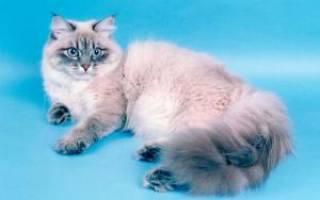 Невская маскарадная кошка: 20+ фото, описание породы, цена